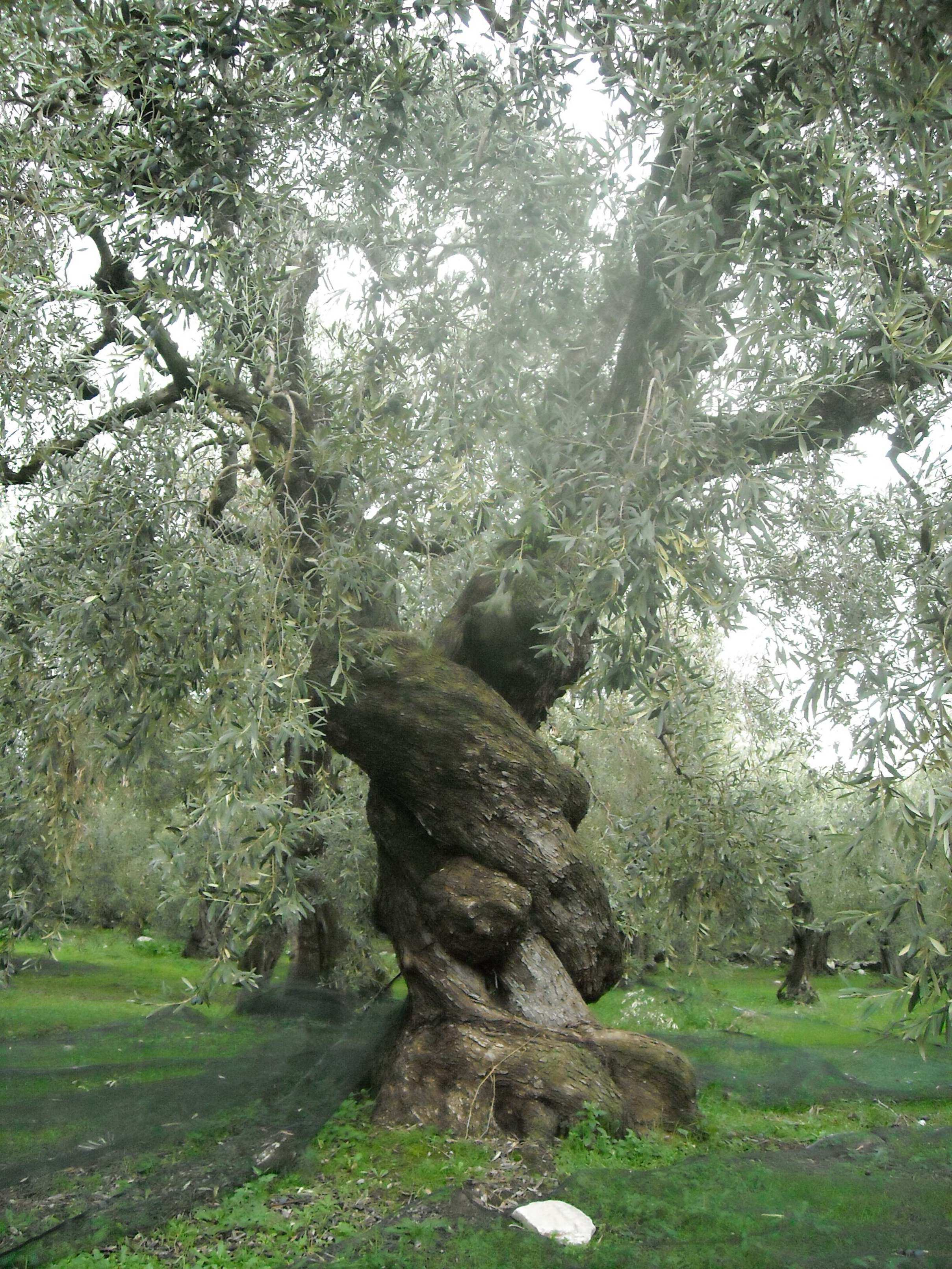Ancient Olive Wood Tree