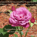 Heirloom Rose Verse